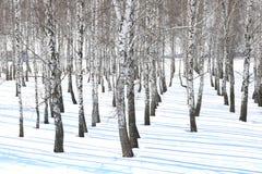 Árboles de abedul blancos y negros con la corteza de abedul en invierno en nieve Fotografía de archivo