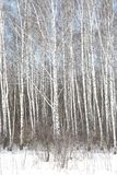 Árboles de abedul blancos y negros con la corteza de abedul en invierno en nieve Fotos de archivo