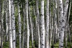 Árboles de abedul, bosque, nadie Fotografía de archivo libre de regalías