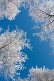 Árboles de abedul con escarcha contra el cielo azul Imagen de archivo