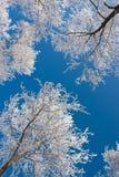 Árboles de abedul con escarcha contra el cielo azul Fotografía de archivo