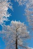 Árboles de abedul con escarcha contra el cielo azul Foto de archivo