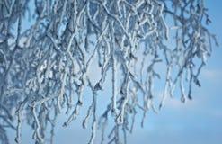 Árboles de abedul con escarcha en las ramas Fotografía de archivo libre de regalías