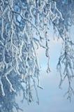 Árboles de abedul con escarcha en las ramas Foto de archivo