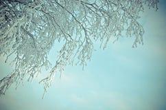 Árboles de abedul con escarcha en las ramas Fotos de archivo libres de regalías
