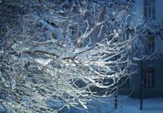 Árboles de abedul con escarcha en las ramas Fotografía de archivo