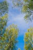 Árboles de abedul con follaje fresco contra el cielo azul Imagenes de archivo