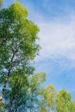 Árboles de abedul con follaje fresco contra el cielo azul Imágenes de archivo libres de regalías