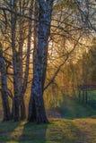 Árboles de abedul con follaje joven Imagen de archivo
