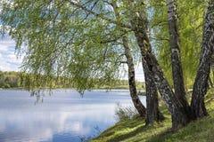 Árboles de abedul con follaje joven al borde del lago Foto de archivo