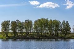 Árboles de abedul con follaje joven al borde del lago Imagen de archivo