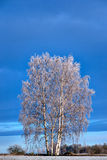 Árboles de abedul con fros de la escarcha Fotos de archivo
