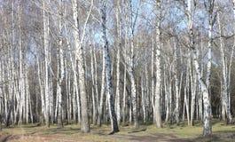 Árboles de abedul con la corteza blanca Imagen de archivo libre de regalías
