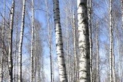 Árboles de abedul con la corteza blanca Imágenes de archivo libres de regalías