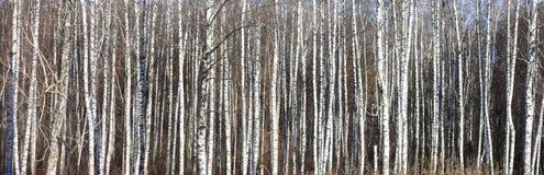 Árboles de abedul con la corteza blanca Fotografía de archivo