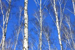 Árboles de abedul con la corteza blanca Imagenes de archivo