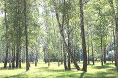 Árboles de abedul con la corteza blanca Fotos de archivo