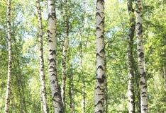 Árboles de abedul con la corteza blanca Imagen de archivo