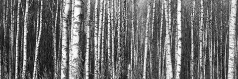 Árboles de abedul con la corteza blanca Foto de archivo libre de regalías