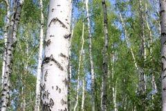 Árboles de abedul con la corteza blanca Fotografía de archivo libre de regalías