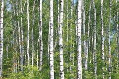 Árboles de abedul con la corteza blanca Foto de archivo