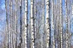 Árboles de abedul con la corteza blanca Fotos de archivo libres de regalías
