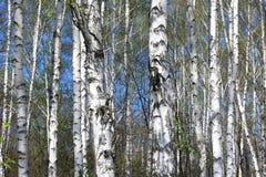 Árboles de abedul con la corteza blanca en arboleda del abedul Fotografía de archivo libre de regalías