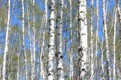Árboles de abedul con la corteza blanca en arboleda del abedul Fotos de archivo