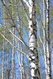 Árboles de abedul con la corteza blanca en arboleda del abedul Fotos de archivo libres de regalías
