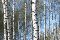 Árboles de abedul con la corteza blanca en arboleda del abedul Imagenes de archivo