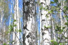 Árboles de abedul con la corteza blanca en arboleda del abedul Fotografía de archivo