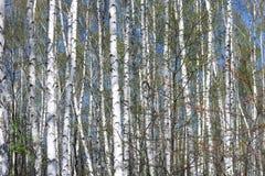 Árboles de abedul con la corteza blanca en arboleda del abedul Foto de archivo libre de regalías
