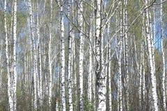 Árboles de abedul con la corteza blanca en arboleda del abedul Imagen de archivo
