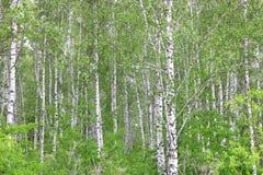 Árboles de abedul con la corteza blanca en arboleda del abedul Foto de archivo