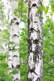 Árboles de abedul con la corteza blanca en arboleda del abedul Imágenes de archivo libres de regalías