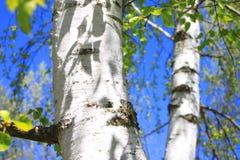 Árboles de abedul con la corteza blanca en arboleda del abedul Imagen de archivo libre de regalías