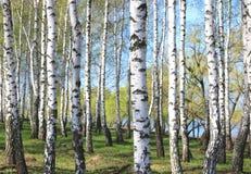 Árboles de abedul con la corteza blanca en primavera Imágenes de archivo libres de regalías