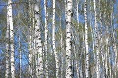 Árboles de abedul con la corteza blanca en primavera Foto de archivo libre de regalías