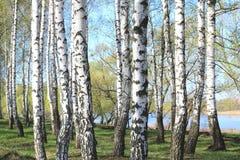 Árboles de abedul con la corteza blanca en primavera Imagen de archivo libre de regalías