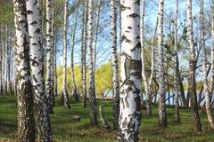 Árboles de abedul con la corteza blanca en primavera Foto de archivo