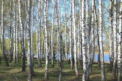Árboles de abedul con la corteza blanca en primavera Fotografía de archivo libre de regalías