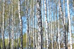 Árboles de abedul con la corteza blanca en primavera Fotos de archivo