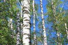 Árboles de abedul con la corteza blanca en primavera Imagen de archivo