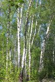 Árboles de abedul con la corteza blanca en primavera Fotografía de archivo