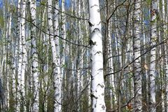 Árboles de abedul con la corteza blanca en primavera Imagenes de archivo