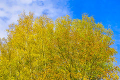 Árboles de abedul con las hojas amarillas Foto de archivo libre de regalías
