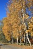 Árboles de abedul con las hojas de otoño Imagen de archivo