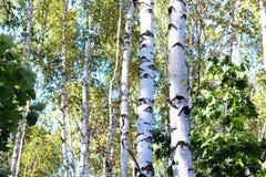 Árboles de abedul con las hojas del verde y troncos blancos en verano Imágenes de archivo libres de regalías