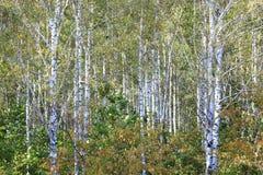 Árboles de abedul con las hojas del verde y troncos blancos en verano Imagen de archivo