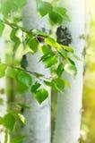 Árboles de abedul con las hojas jovenes Imagen de archivo